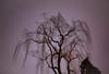 weep (Beau Finley) Tags: weepingwillow winter rosedaleconservancy beaufinley plant tree washingtondc districtofcolumbia dc night longexposure