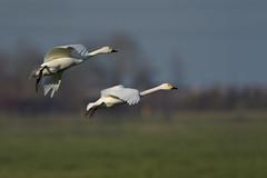 Bewick's swan fly by (skees499 ) Tags: cygnus columbianus swan bewicksswan nikon d500 keesmolenaar alblasserwaard zwaan kleinezwaan bif netherlands wild natuur nature birding cygnuscolumbianusbewickii