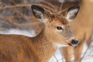 White Tailed Deer fawn  Img_7671