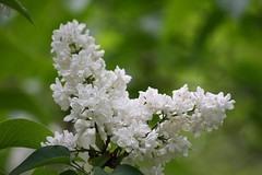 Beyaz Leylak - Syringa vulgaris (halukderinöz) Tags: leylak lilac white beyaz çiçek flower ankara türkiye canoneos40d eos40d hd