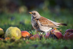 Fruity pose ( Explored @ 130 ) (raytaylor77) Tags: fieldfare bird branch feathers possing wild wiltshire wings broadtown england unitedkingdom gb apples fruit