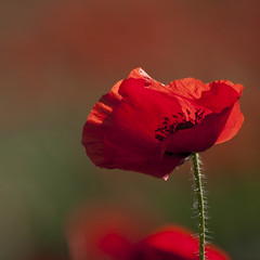 En coup de vent *----+°-° (Titole) Tags: poppy backlit titole nicolefaton squareformat red friendlychallenges 15challengeswinner challengeyouwinner