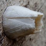 Ivory Barnacle thumbnail