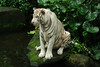 A White Tiger Looking at Itself in a Pond in Singapore Zoo (Robert-Ang) Tags: zoo nature whitetiger singaporezoo singapore pond cat