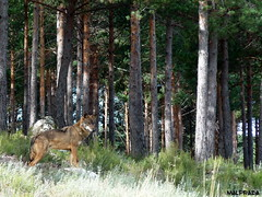 Lobo (Mal Prada) Tags: lobo robledo sanabria zamora octubre otoño 2015
