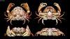 Calappa bicornis (Miers, 1884) (Gabriel Paladino Photography) Tags: crabe pinza crostacei decapodi chele arthropod カニ καβούρι cranc krabo কাঁকড়া kepiting סרטן 蟹 cua krabba krabi કરચલો krabbi yencək portán krabbe ketam tarisznyarák taskurapu خرچنگ granċ krab நண்டு ಏಡಿ krabas краб alimasag rak рак cancer pajek krabis favme animalia arthropoda crustacea malacostraca decapoda brachyura calappidae calappa crab cangrejo crustaceo marino marine animal specimen philippines bulky carapace chelae claw shamefacedcrab boxcrab domeshaped bicornis canon sx50 powershot futakobucalappa twohornboxcrab female colorful red orange