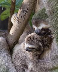 (leahlaurinda) Tags: sloths sloth costarica centralamerica manuelantonionationalpark nature wildlife babyanimal animals animal