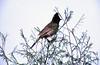Red-vented bulbul (Pycnonotus cafer) (SteveInLeighton's Photos) Tags: 1983 april ilfochrome transparency kathmandu nepal bulbul birds