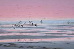 sunset waders (Cano Vääri) Tags: 2016 lamancha birds december humedal lagunadeellongar flying dunlin calidrisalpina