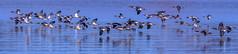 Common Merganser Group (BernieErnieJr) Tags: commonmerganser frontrange colorado cherrycreekstatepark aurora reservoir lake water reflection teamsony rockymountains greatphotographers sony70400mmg2 sonya77mkii coloradowildlife wildlife ducks bird flight