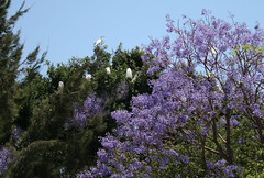 Egrets in trees, roosting for the night, Chapala, Mexico (nikname) Tags: flowersinmexico flowers treesinmexico trees floweringtrees jacarandaflowers jacarandatree jacaranda