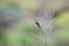 DSC_7436 (mylesm00re) Tags: f africa anthobaphesviolacea gantouwpass hottentotshollandnaturereserve nectariniidae orangebreastedsunbird oranjeborssuikerbekkie southafrica westerncape za bird