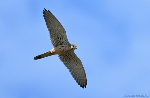 เหยี่ยวเคสเตรล / Eurasian Kestrel / Falco tinnunculus