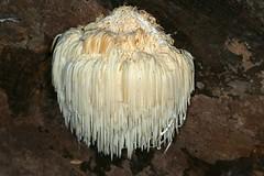 Hericium erinaceus, l'hydne hérisson. (chug14) Tags: champignon fungus hericiaceae hériciacées hericiumcaputmedusae clavariacaputmedusae hydnehérisson houppedesarbres hericiumerinaceus unlimitedphotos pilze fungi funghi