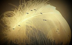 the feather (barry burke1) Tags: seagull outdoor flyby feather birds amazing macro indoor texture