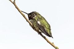 Anna's Hummingbird (David Badke) Tags: oakbay bc bird