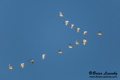 Flock of Snowy Egrets (Egretta thula) (Brian Lasenby) Tags: number flock shore color cedarkey northamerica nature water soar egret egrettathula wadingbird behaviour animal gulfofmexico sea blue ocean wildlife flight florida saltwater bird fly snowyegret environment unitedstates coast places white unitedstatesofamerica