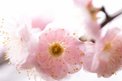 20160206-IMG_4872 (nut_cookie) Tags: flower flowers nature macrophotography plumblossoms