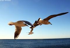 Seagull - Piran January 2017 09 (reineckefoto) Tags: seagulls piran sea blue sky bird