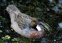 Blue duck/whio. NZ (Bernard Spragg) Tags: hymenolaimusmalacorhynchos duck newzealandbirds blueduck whio pond sony nature wildlif