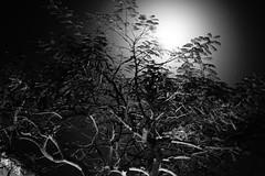 The tree at night (Carlos A. Aviles) Tags: tree arbol flamboyan delonix regia moon blackandwhite blancoynegro