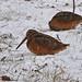 Photo of the Week - Woodcock at Ninigret National Wildlife Refuge, RI