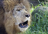 Sir Chuffington (ucumari photography) Tags: male sc animal mammal south lion columbia carolina april riverbankszoo 2015 chuff dsc1044 leoleo specanimal ucumariphotography