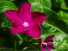 Flor Fiusha- (roizroiz) Tags: pink flowers plants flores green petals interestingness perfect shot explore most wanted mothernature i500 bestoftheday natureselegantsshots plantsportrait