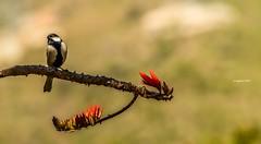 Attitude.. (Sougata2013) Tags: india mountain flower bird spring hill may mandi himachalpradesh nikond3200 2015 raktamandar kamand corkycoraltree