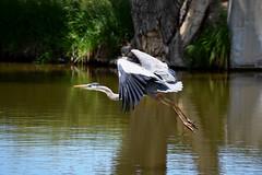 Great Blue Heron (heartinhawaii) Tags: summer lake bird heron nature pond colorado wildlife flight blueheron takingoff greatblueheron ardeaherodias herontakingoff nikond3300 grandviewponds