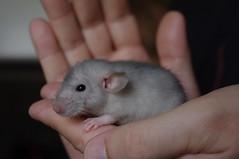 P besk hos Verras (liftarn) Tags: pet rat rats verras