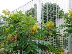 Sumac saplings in flower - July 2015