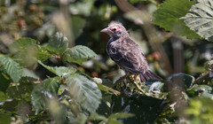 6556 Tricolored Blackbird_fledgling fuzzy head_Iron Point Road colony in Folsom_June 22 2015 (sylvialwright) Tags: birds conservation ucdavis endangeredspecies wildbirds tricoloredblackbird universityofcaliforniadavis scientificresearch robertmeese