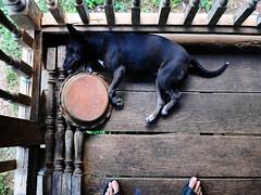 .. Dead Dog ,, (Jon in Thailand) Tags: dog nikon toes blackdog jungle porch nikkor k9 deaddog d300 175528 hardwoodplanks littlestubby abandonedabusedstreetdogs littledoglaughedstories