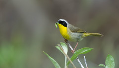 The Yellow Bird Gets the Worm (kdee64) Tags: commonyellowthroatmale geothlypistrichas warbler migratorybird food worm annielake yukon northerncanada insect foraging