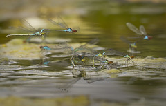 SRED-laying-cls_9470 (Peter Warne-Epping Forest) Tags: uk closeup insect damselfly odonata smallredeyeddamselfly erythrommaviridulum