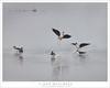 Black-Necked Stilts (G Dan Mitchell) Tags: black necked stilts flight water pond wetland wildlife birds nature sanjoaquin central valley california mnwr