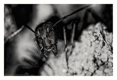 The guardian (s1nano) Tags: 36mmextension kenkodgextensiontubes lensringtc nikontc200 nissinmf18 tamron90mmspmacrof25 ant bug guardian blackandwhite bw macro oldmacrolens manualfocuslens supermacro nikond7000 dof bokeh 18x face portrait nocrop