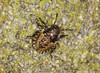 Red-legged Shieldbug 2nd Instar Nymph (Prank F) Tags: insect macro closeup bug shieldbug second 2nd instar nymph redlegged pentatomarufipes rspb thelodge sandy bedfordshireuk wildlife nature