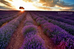 Залез с аромат на лавандула (ivanmihalev) Tags: lavender sunset bulgaria travel otbivki 101romanticplacesinbulgaria българия лавандула залез романтика