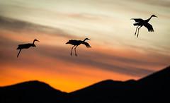 Three Parachuting Cranes (girltwin) Tags: cranes nikon d500 crepuscular twilight civiltwilight parachute parachuting sandhillcranes trio triffecta three triad landing landingzone birds ave oiseaux oiseau lucky