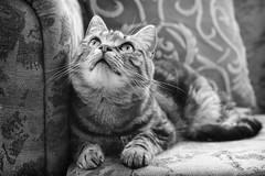 Moon Gazing (M J Adamson) Tags: sweetpea cats pets mono blackwhitephotography nz newzealand