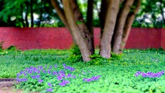 (farmspeedracer) Tags: may spring tree lawn flower green purple park nature fleur blume