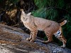 Oop-si (Portraying Life) Tags: unitedstates bobcat freshwatermarsh tucson arizona handheld nativelighting wild