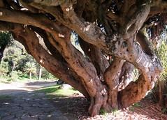 TRONCO DE DRAGOEIRO (Américo Meira) Tags: tronco dragoeiro