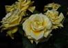DSC_4250 (PeaTJay) Tags: nikond750 reading lowerearley berkshire macro micro closeups gardens indoors nature flora fauna plants flowers rose roses rosebuds