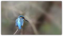 i am very content ...!!! (guiguid45) Tags: nature sauvage oiseaux bird loiret d810 nikon 300mmf28 martinpêcheur alcedoatthis