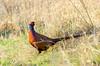 Common Pheasant, Attenborough Nature Reserve. (JG Photography86) Tags: jgphotography dslrphotography nikondslr nikon nikond7000 d7000 tamron sigma canon tamron150600 superzoom telephoto attenboroughnaturereserve rspb britishwildlife commonpheasant birdphotography nature wildlife winter