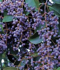 PURPLE BERRIES 2 (sadler0) Tags: purple berry berries leaves leaf bush roger sadler rogersadler ©