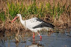 DSC_7241E7W (Montse Ponsa) Tags: aiguamolls aus aigua vegetacio ocell birds gi girona catalunya emporda